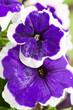 Leinwandbild Motiv Close -up on Blue Petunia flower with a white border.