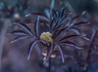Bez czarny Sambucus nigra Black Beauty, krzew dziko rosnący