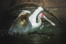 African Spoonbill (Platalea Alba) Landed In The Water