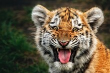 Portrait Of A Beautiful Little Tiger Cub (Panthera Tigris Altaica) Grinning At The Camera