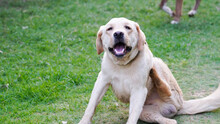 Dog Itching Image - Rescued Labrador