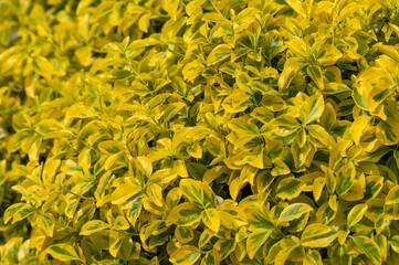 ligustr aureum krzew o żółto-zielonych listkach