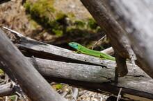 Lézard Vert Et Bleu Saurien De La Forêt