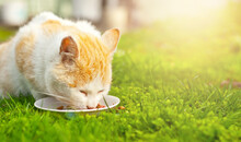 Red Cat Eats Natural Food From A White Plate. The Cat Eats In The Grass. Food In Nature On A Green Background. The Concept Of Fresh And Natural Food.