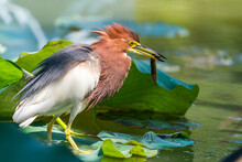Pond Heron (Ardeola Bacchus) On Lotus Leaves In Pond