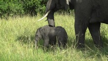 Following Shot Of Baby Elephant Walking Away With Mother Elephant In Wild