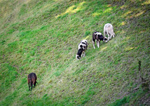 Sheeps On A Steep Slope In The Mountains Of Tirol, Austria