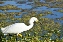 Beautiful Young Snowy Egret Looking For Food In A Lagoon