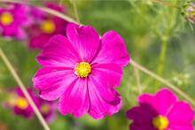 Pink Cosmos Bipinnatus (garden Cosmos Or Mexican Aster) In A Garden In Zurich, Switzerland