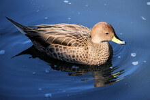 A Yellow Billed Duck On The Water