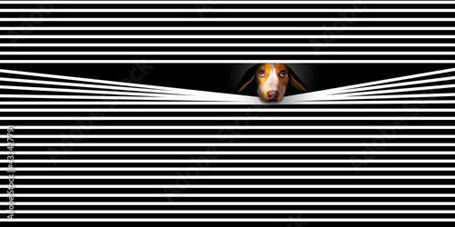 HOME ALONE- A sad faced Beagle dog looks out a window with his face pushed through  venetian blind slats. This is a 3-D illustration about lonely pets. - fototapety na wymiar