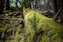A Moss Covered Fallen Tree Gives Way To New Growth In A Forest
