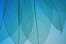 Skeleton  Leaf . Skeletonized Leaf On On A  Blue Background.Beautiful Plant Background In Blue Tones.