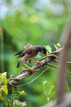 Common Indian Myna Perching On A Branch. Hungry Mynah. Spelled Mynah.
