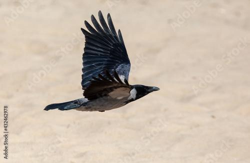 Naklejka premium A raven in flight against the background of sand