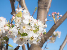 Spring Scene Of A Bouquet Of White Flowers With Purple Details On The Branches Of A Prunus Domestica Tree On A Sunny Day And A Blue Sky In The Background