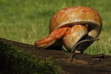 A Corn Snake (Pantherophis Guttatus Or Elaphe Guttata) After Hunt Eating A Mouse.