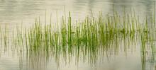 Green Reeds Growing In Marsh Wetland