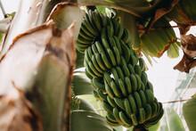 Green Fresh Bananas On A Palm Tree