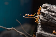 Ants Are Transporting Their Food Prey To The Nest