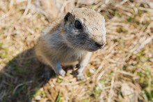 Close-up Portrait Of A Curious Gopher Sitting In A Field