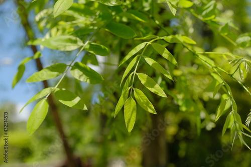 Canvastavla Un albero di sophora japonica ricoperto di foglie verdi in una giornata di primavera