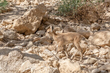 Ibex In Ein Gedi National Park In Southern Israel