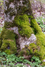 Tree Trunk, Strain With Green-yellow Moss On Tree Growths And Bark In The Forest In Spring With Dead Leaves And Shrubs.