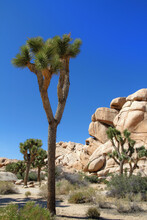 Joshua Trees (Yucca Brevifolia) In Front Of Large Boulders And Rocks At Hidden Valley Nature Trail Area In Joshua Tree National Park, California.