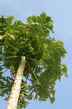 Vertical Shot Of Papaya Tree Laden With Fruits And Green Canopy Of Leaves