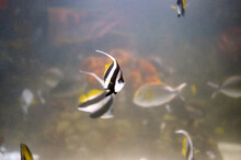 Pennant Coralfish (Heniochus Acuminatus), Tropical Fish Of The Family Chaetodontidae Swimming In Cloudy Water Near Other Fish