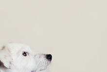 Jack Russell Terrier Dog 1 Year Old Looks Up. Dog Head In Profile On Gray Background. Pet Health Care, Treatments, Food, Training Concept. Copy Space.