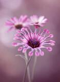 Fototapeta Kwiaty - Wiosenne kwiaty - Osteospermum
