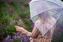 Woman Pick Lavender Flowers With Transparent Umbrella In Summer Rain In Fields. Shallow Depth Of Field Photo