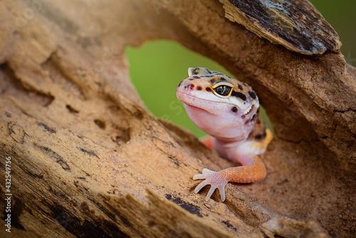 Fotografia Leopard Gecko on a branch