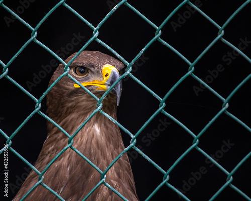 Canvas Print Steppe Eagle