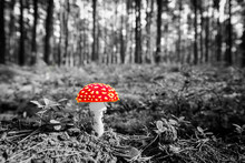 Amanita Muscaria And Pine Cone On The Edge Of The Forest Lit By The Rays Of The Sun. Close Up View From Ground Level