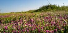 A Field Of Purple Clovers