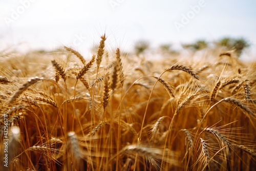 Gold wheat field. Wheat field natural product. Ears of golden wheat close up. Agro business. Harvesting.