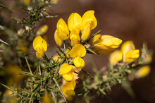 Close Up Of Common Gorse (ulex Europaeus) Flowers In Bloom