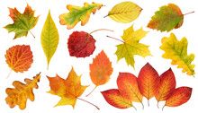 Collection Of Autumn Leaves Isolated On A White Background.