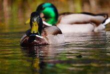 Male Mallard Ducks With Wet Plumage Swimming On A Colorful Reflective Pond Anas Platyrhynchos