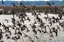 BIRDS- Florida- Close Up Of A Large Flock Of Willets Taking Off From A Marsh