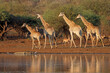 canvas print picture Giraffes (Giraffa camelopardalis) and other wildlife at a waterhole, Kruger National Park, South Africa.