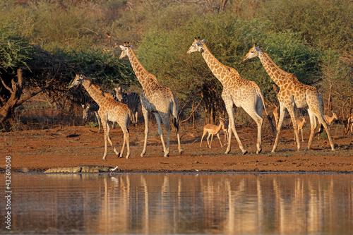 Naklejka premium Giraffes (Giraffa camelopardalis) and other wildlife at a waterhole, Kruger National Park, South Africa.