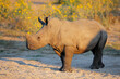 canvas print picture A young white rhinoceros (Ceratotherium simum) calf in natural habitat, South Africa.