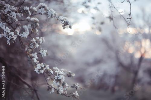 spring blooming garden background, delicate white flowers on trees, seasonal mar Fototapet