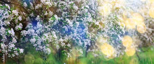 Canvastavla spring blooming garden background, delicate white flowers on trees, seasonal mar