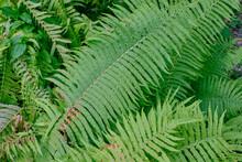 Common Lady Fern Single Leaf