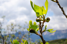 Young Fruits Of Figs On The Background Of The Sea And Mountains In Crimea